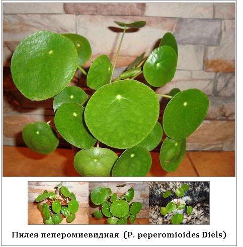Как называется цветок с круглыми листочками