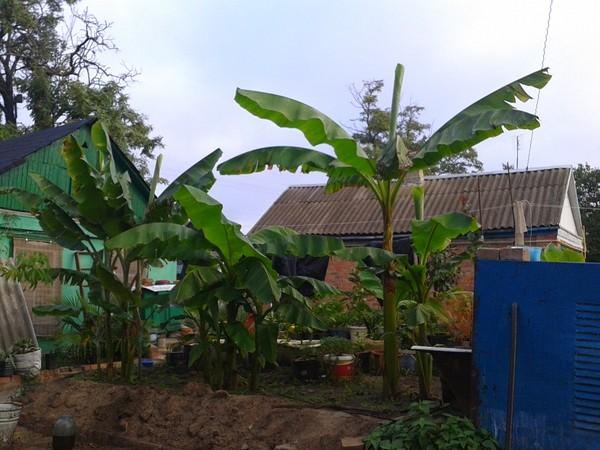 Смотреть Можно ли вырастить банан в домашних условиях видео