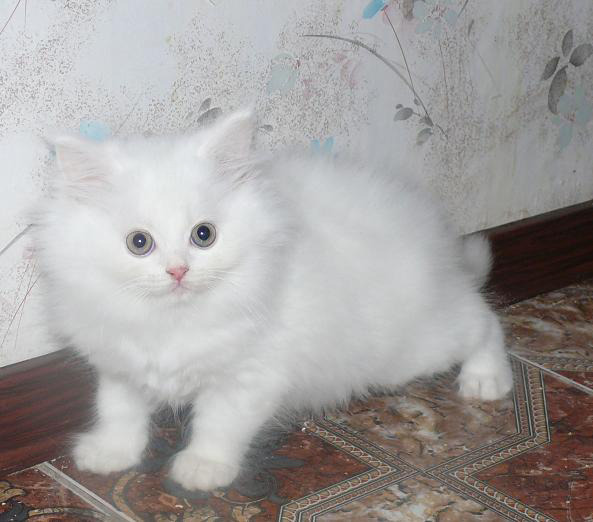 фото котята ангорской породы