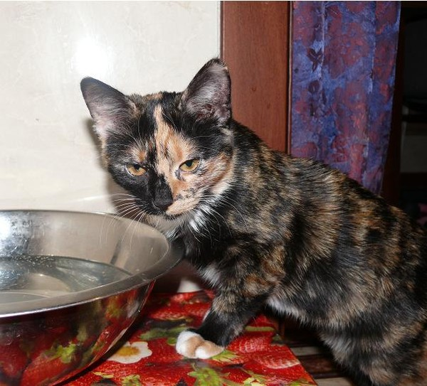 кошка семицветная фото