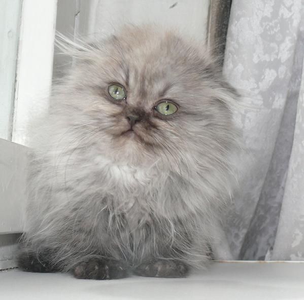 сколько стоит котёнок шотландский вислоухий фото #10