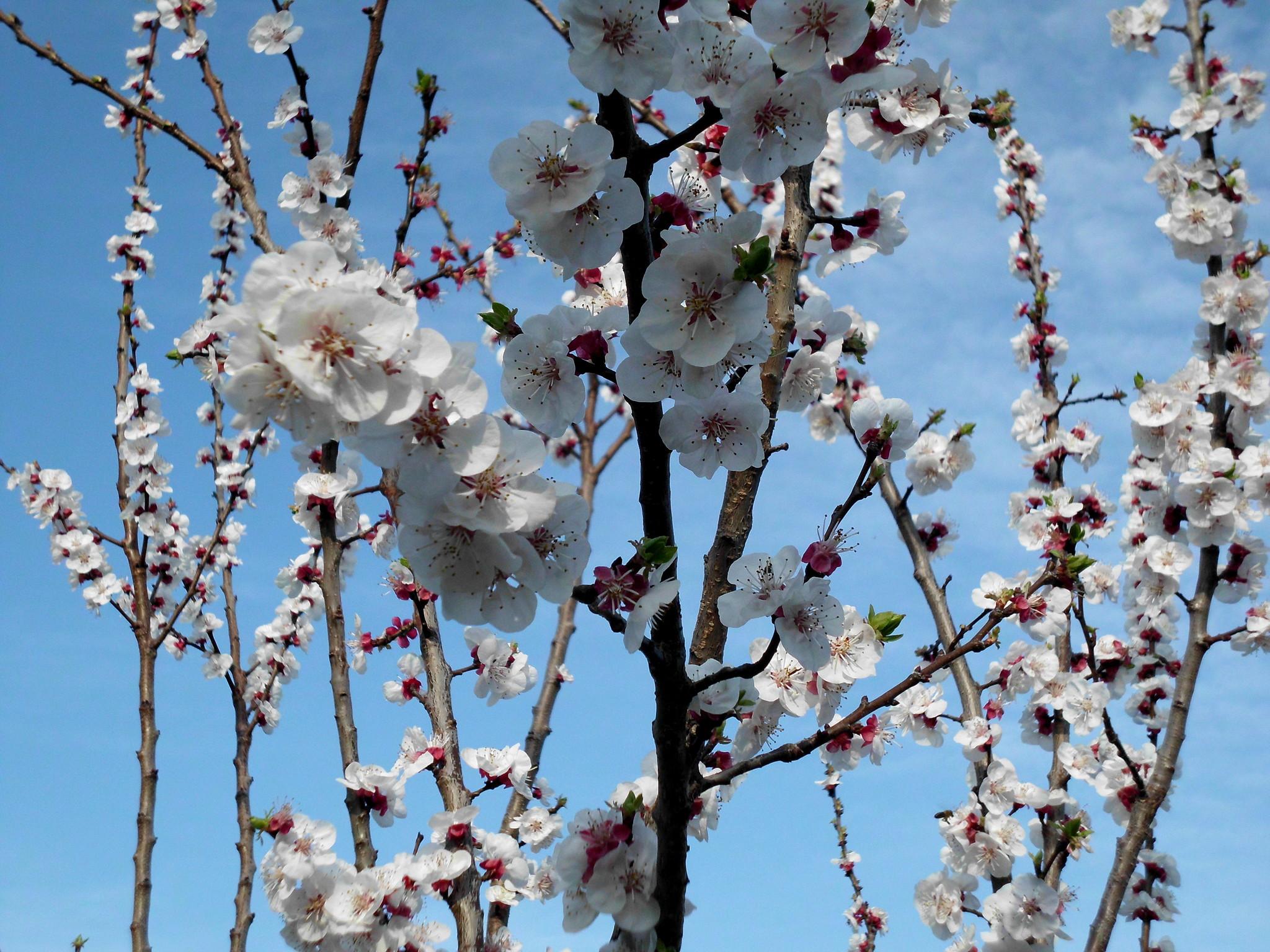 картинки цветущих деревьев абрикос смотреть концепцию