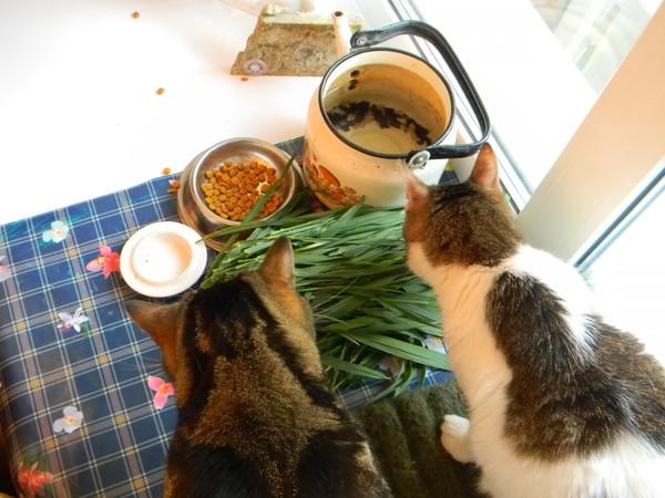 Кот закапывает еду в миске