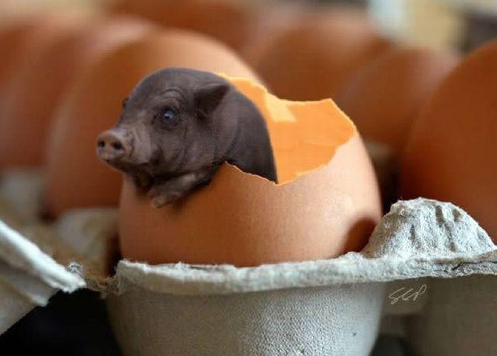 Яйца свиньи картинки