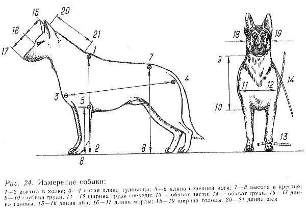 картинка измерения собаки если нужно