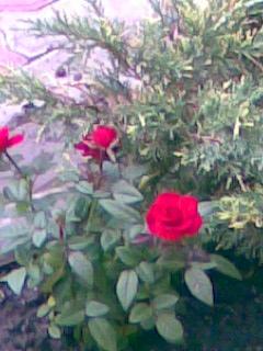 ломали пересаживать розы во сне ответы майл числа рабочих