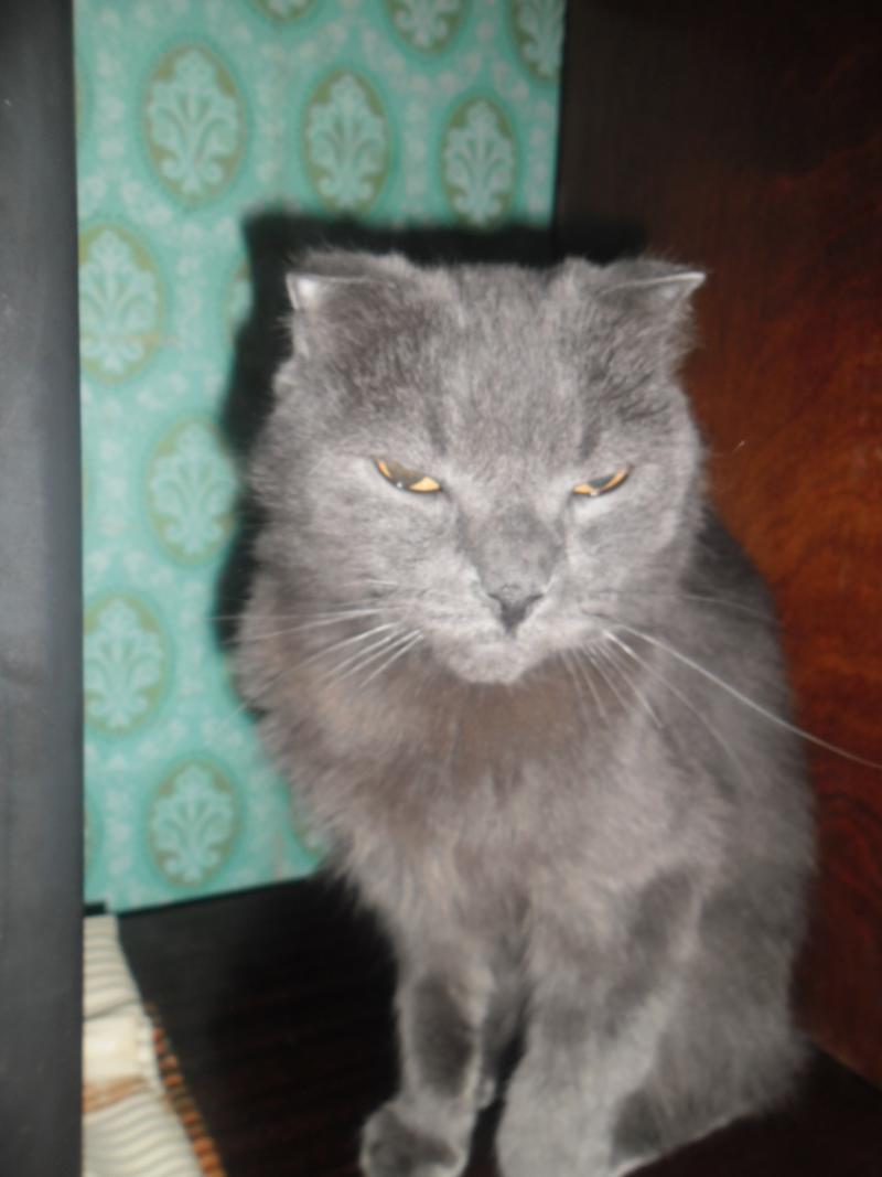 Худой шотландский кот