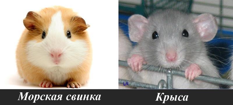 Крыса или морская свинка