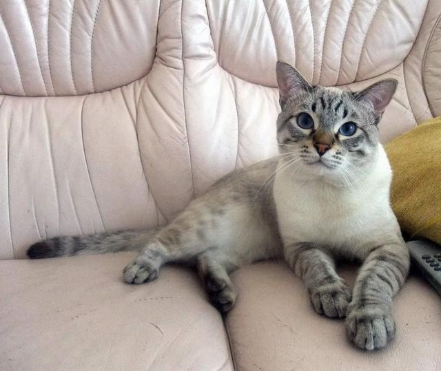 Cream colored tabby cat