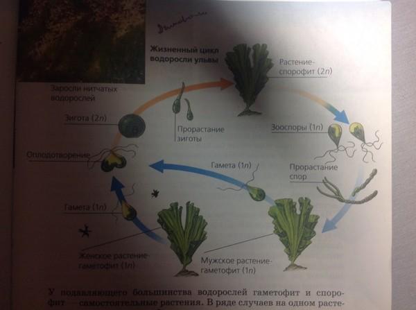 жизненный цикл водоросли