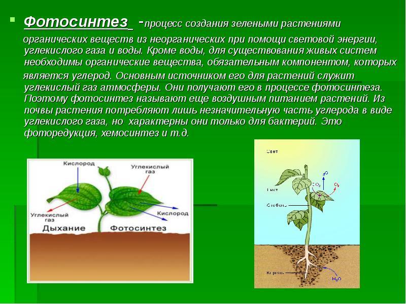 пряные овощи фотосинтез сахарного тростника реакция портрет фото заказ