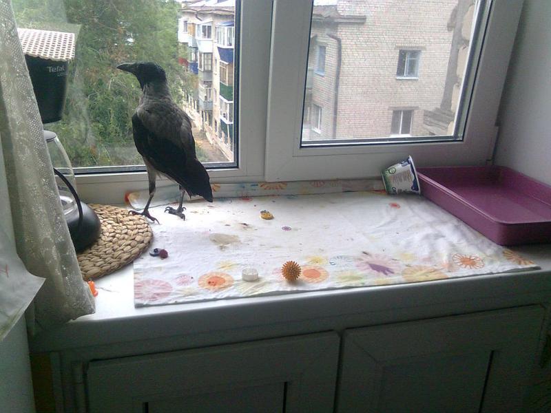 Ответы@mail.ru: психология птиц! почему вороны гораздо больш.