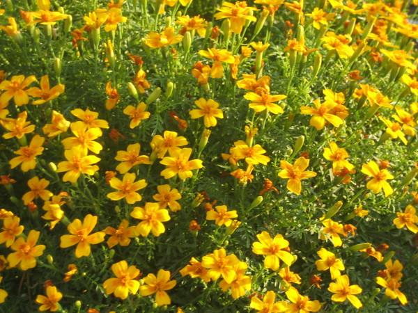 Цветок оранжевый как называется