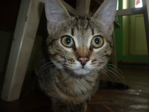 Определение породу котов