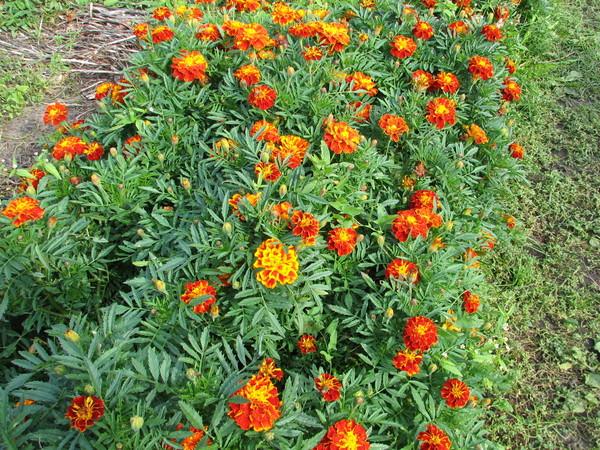 Цветы цветущие в августе-сентябре