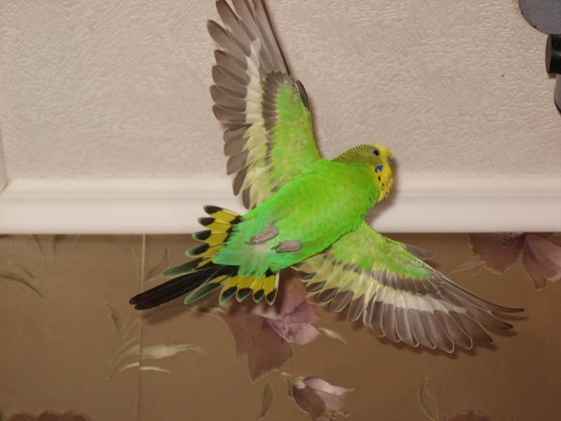 Когда волнистый попугай начинает летать
