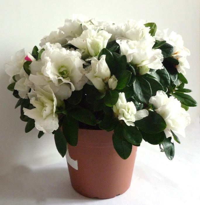 Белые горшках цветы сне во в