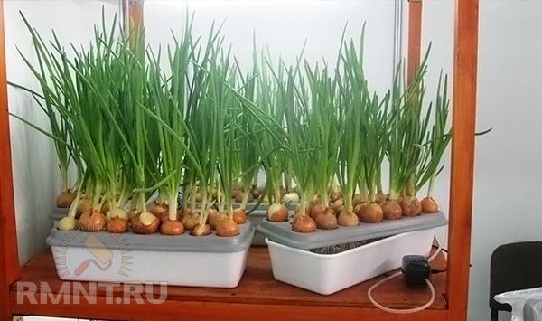 Зеленый лук гидропоника Стаф безкидалова Тольятти