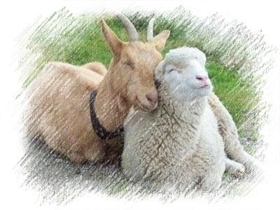 Овцы и козы прикольные картинки
