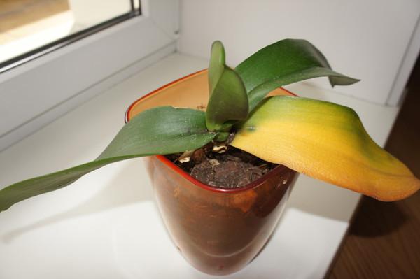 Пожелтел лист у орхидеи