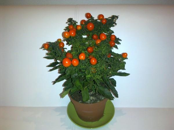 Комнатный цветок похожий на помидор фото