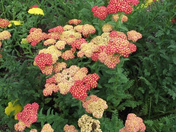 Цветы тысячелистник фото