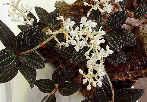 Орхидея Каттлея уход, фото, купить, разведение ...