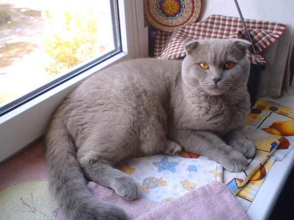Вислоухий кот сильно похудел