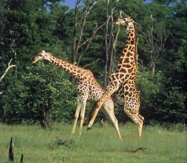 А куда жирафы шею прячут, когда совокупляются?