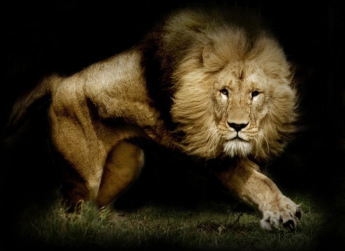 Лев на черном фоне загрузить