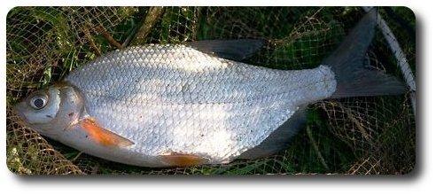рыба семейства карповых 7 букв - фото 2