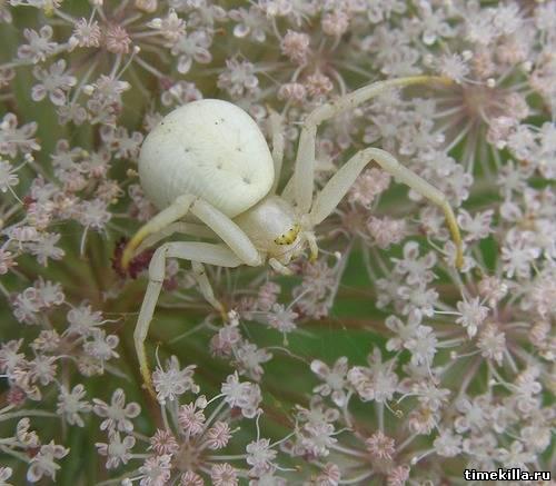 паук белый фото