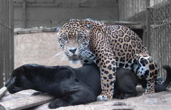 пантера мужского рода как называется
