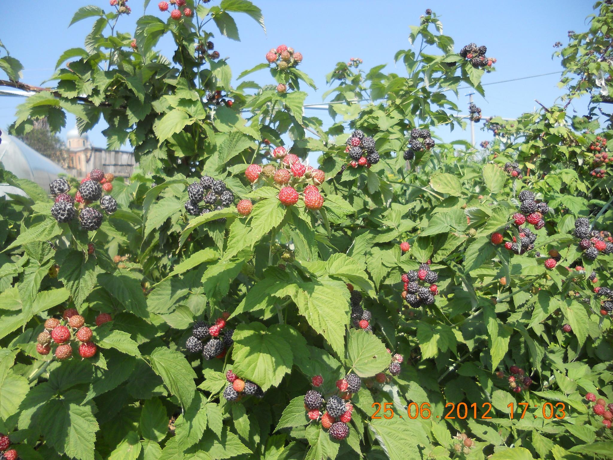 Инфракрасная сушилкадегидратор для фруктов овощей