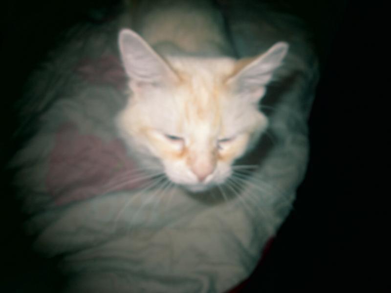Бело-рыжие коты с голубыми глазами