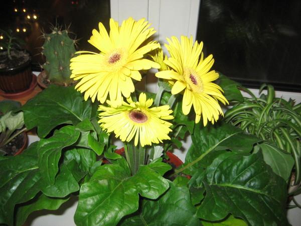 Комнатные растения с желтыми цветками фото