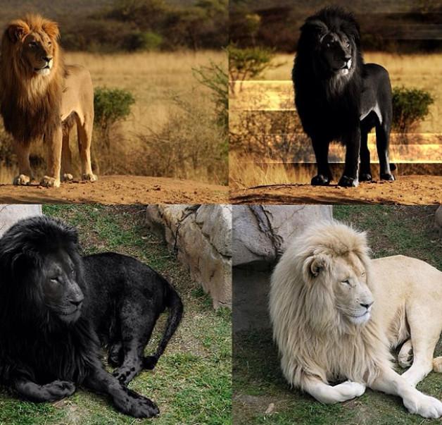 из-за чего карла льва назвали львом том числе, совместимость