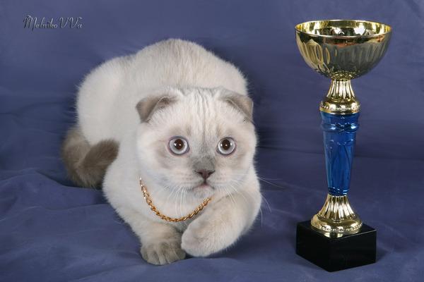 Сиамские вислоухие коты