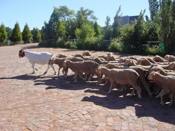 Bildergebnis für стада баранов