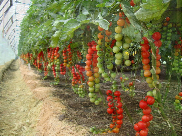довольно проста, чем обработать помидоры для образования завязи города