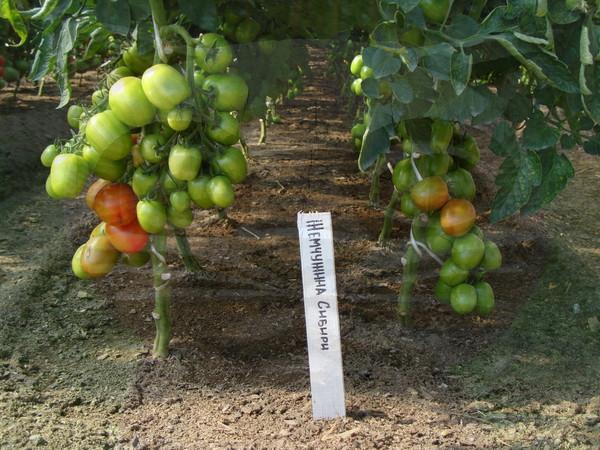 Самые лучшие сорта помидоров для теплиц: названия и свойства плодов