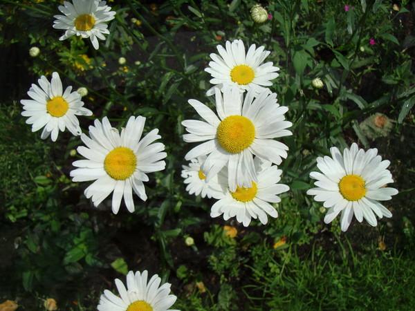 Цветы ромашковидные