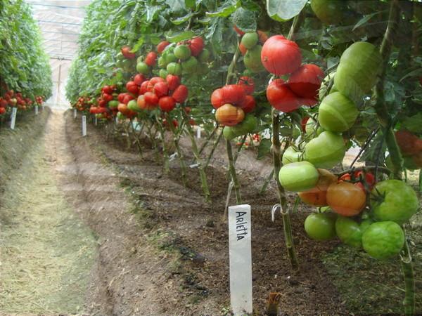 бланк помидор туземец фото истинной хозяйки все