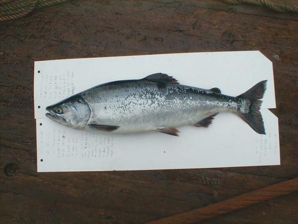 Отличие рыбы самок от самцов горбуша замороженная