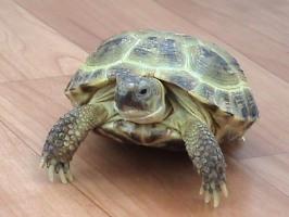 сухопутная черепаха фото