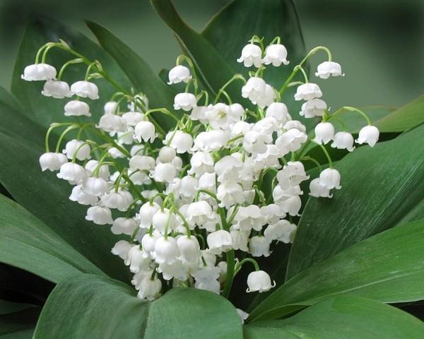 Колокольчик цветок белый
