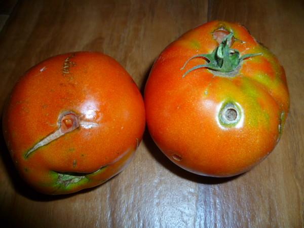 Дырки на томатах
