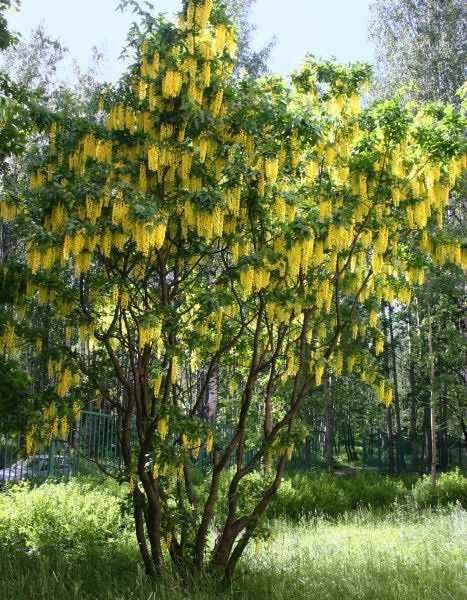 дерево жасмин фото