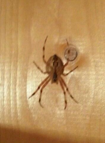 примета увидеть вечером большого паука малыш