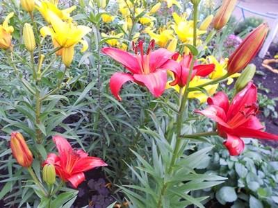 Чем лилии отличаются от лилейника